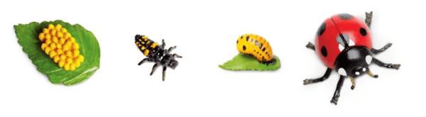Levenscyclus lieveheersbeestje
