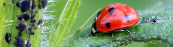 Natuurlijke vijanden van bladluizen