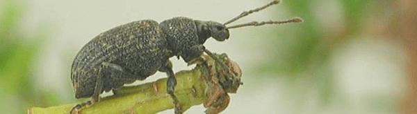 Taxuskever: herkennen en bestrijden