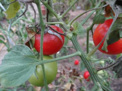 botrytis tomaten
