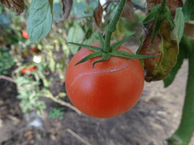 tomaten barsten