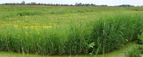 Biodiversiteit biogroei waterpartij riet