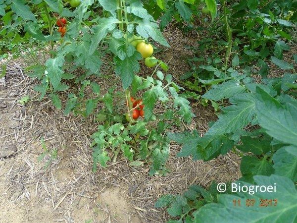 Fumier de cheval entre des plants de tomates