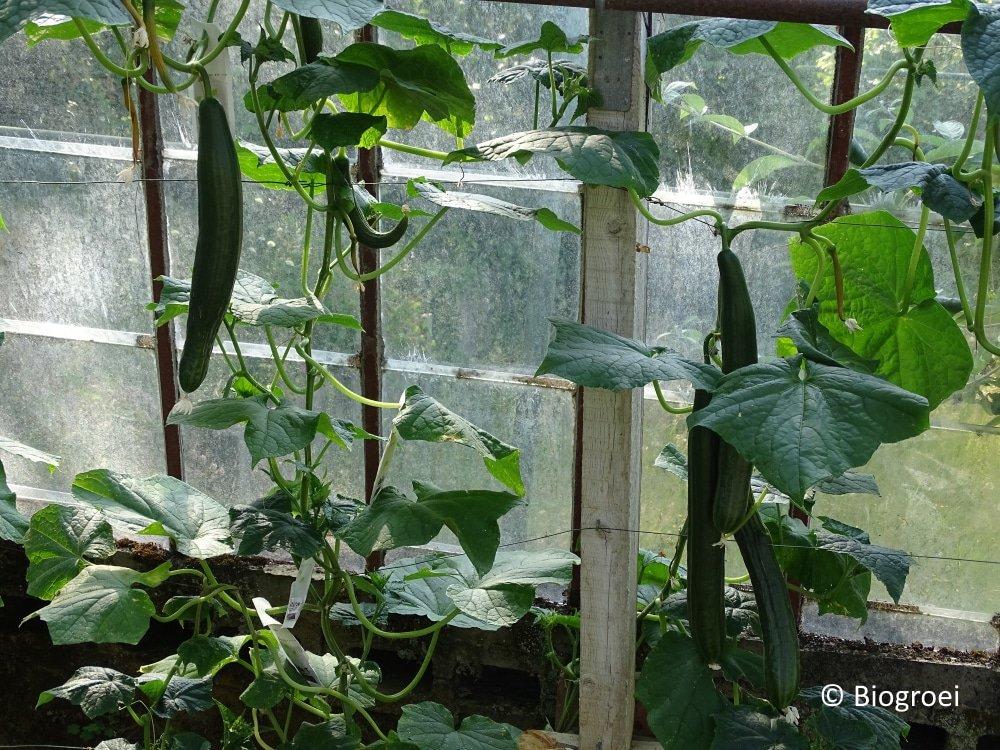 Komkommers oogsten