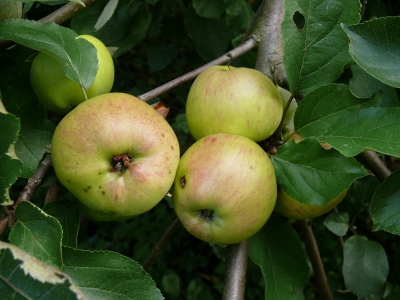 Doorboring van fruitmot in appels