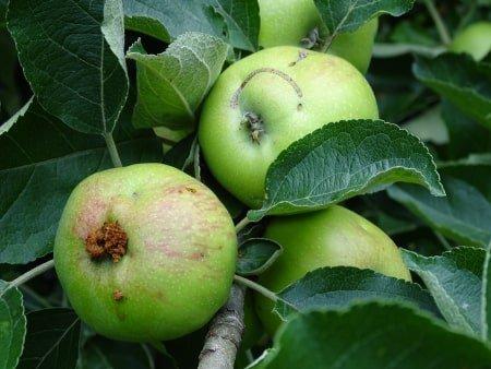 schadebeeld appelzaagwesp in appels