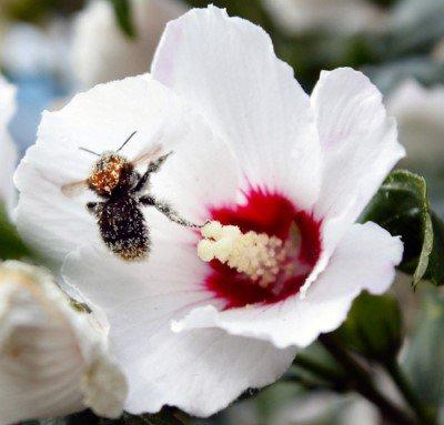 hommel op hibiscus