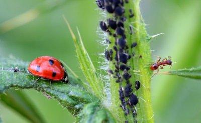 lieveheersbeestjes mieren bladluis