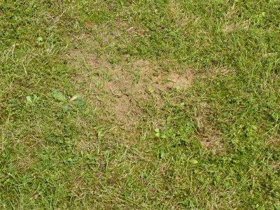 Mierenhoop in gazon