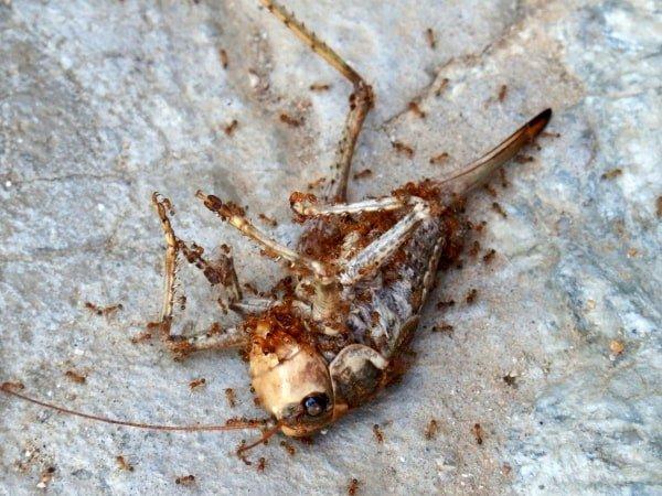 mieren eten insect