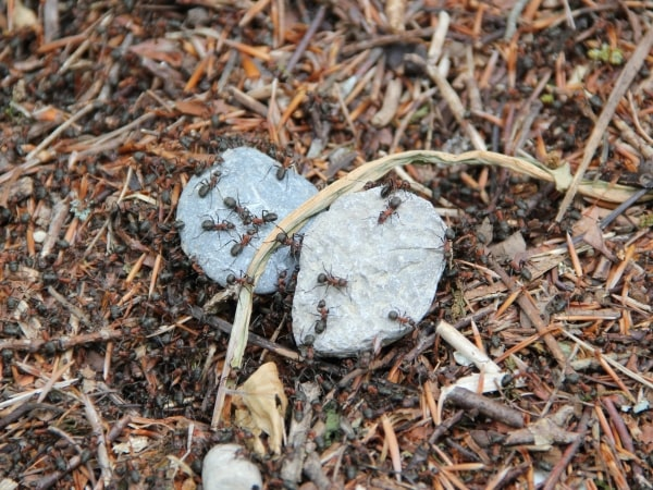 mieren in de tuin