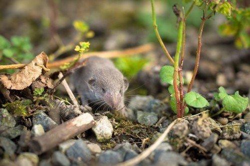 verschillende soorten muizen