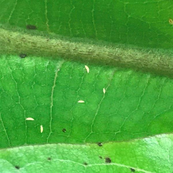 trips larven