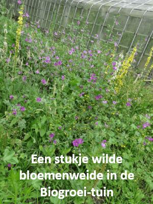 Een stukje wilde bloemenweide in de Biogroei-tuin