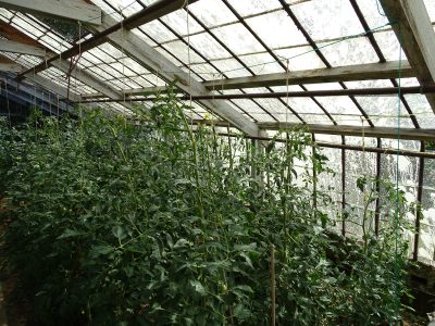tomatenplant opbinden