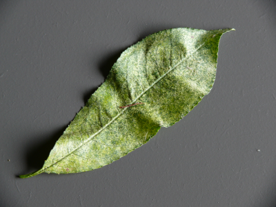 spint blad